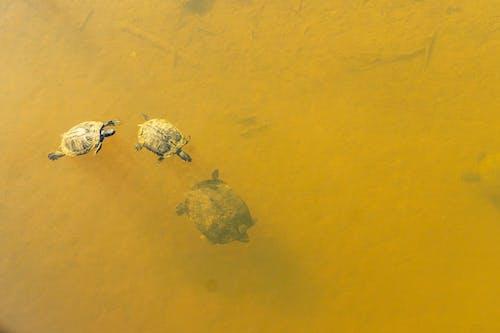 Безкоштовне стокове фото на тему «березень, весняні черепахи, вода, водні черепахи»