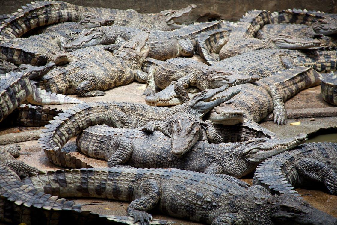 Základová fotografie zdarma na téma agresivní dispozice, aligátoři, divočina