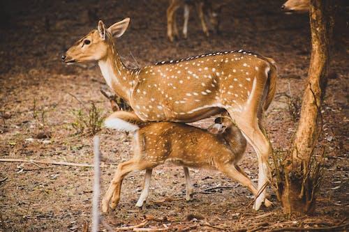 Deer Feeding A Fawn