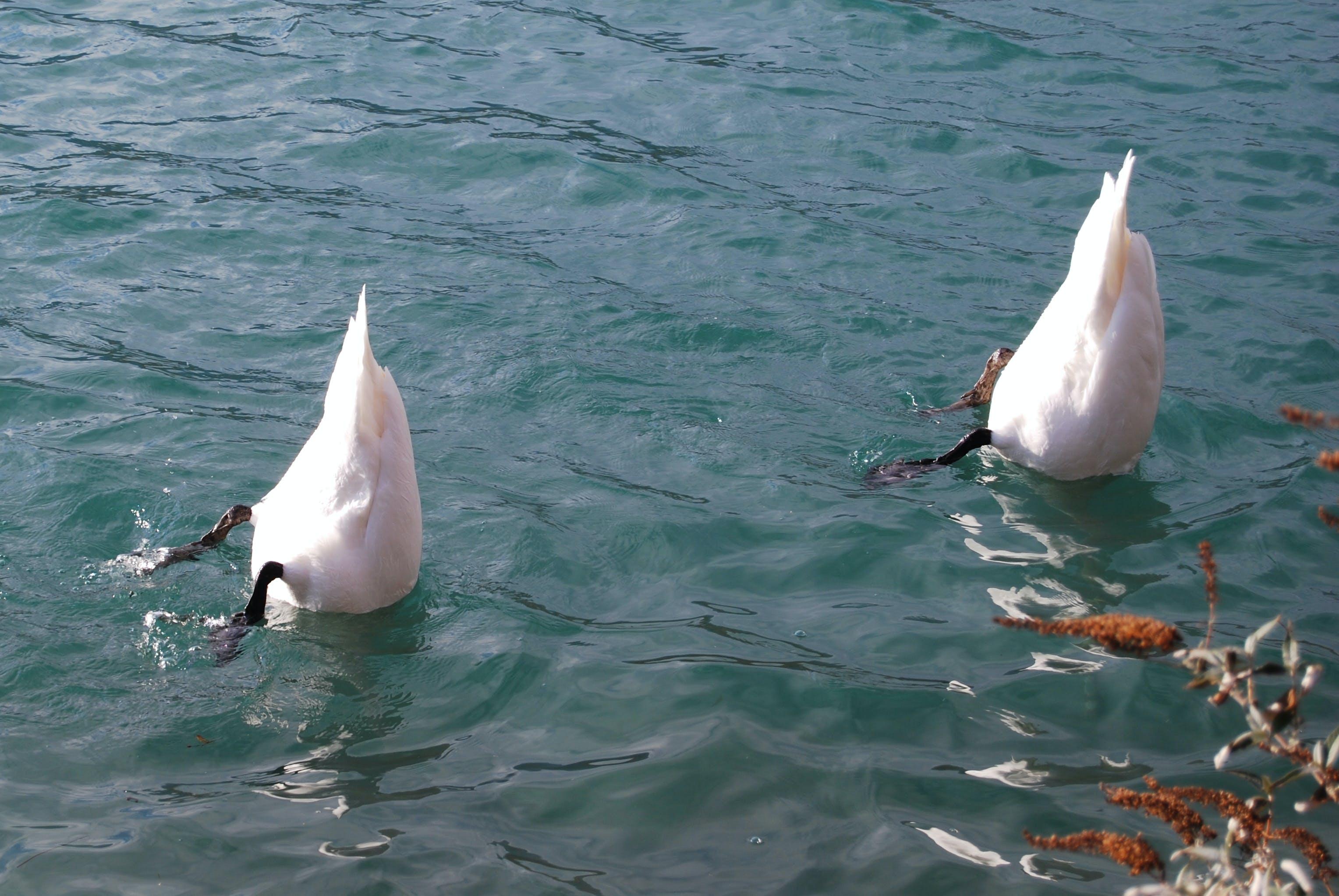 Free stock photo of lake, river, swans, diving