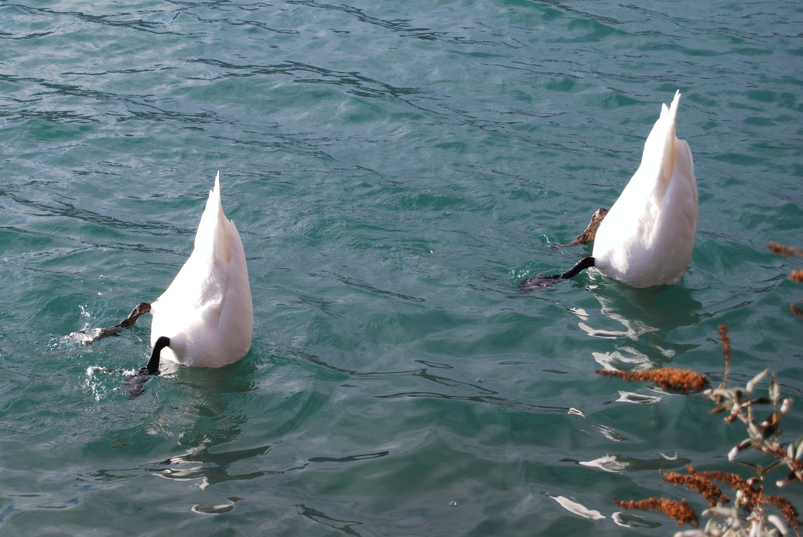 Two White Feathered Animals With Head Under Water and Body Above Water