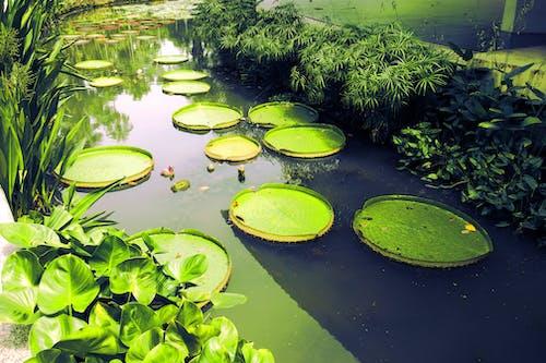 Photos gratuites de botanique, eau, nature, Nénuphars