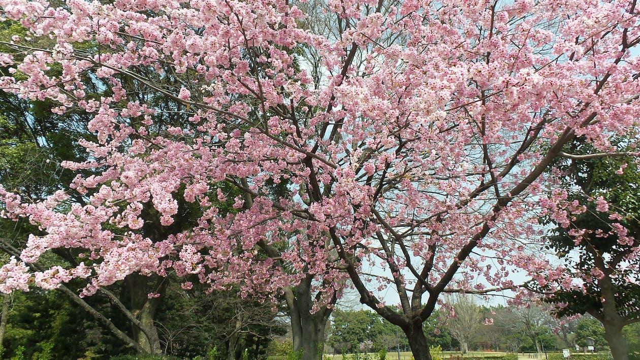 Free stock photo of cherry blossoms, japan, Nagoya