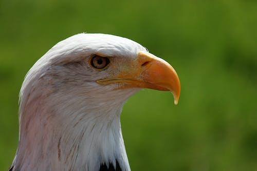 Immagine gratuita di aquila, aquila calva, aquila dalla coda bianca, predatore