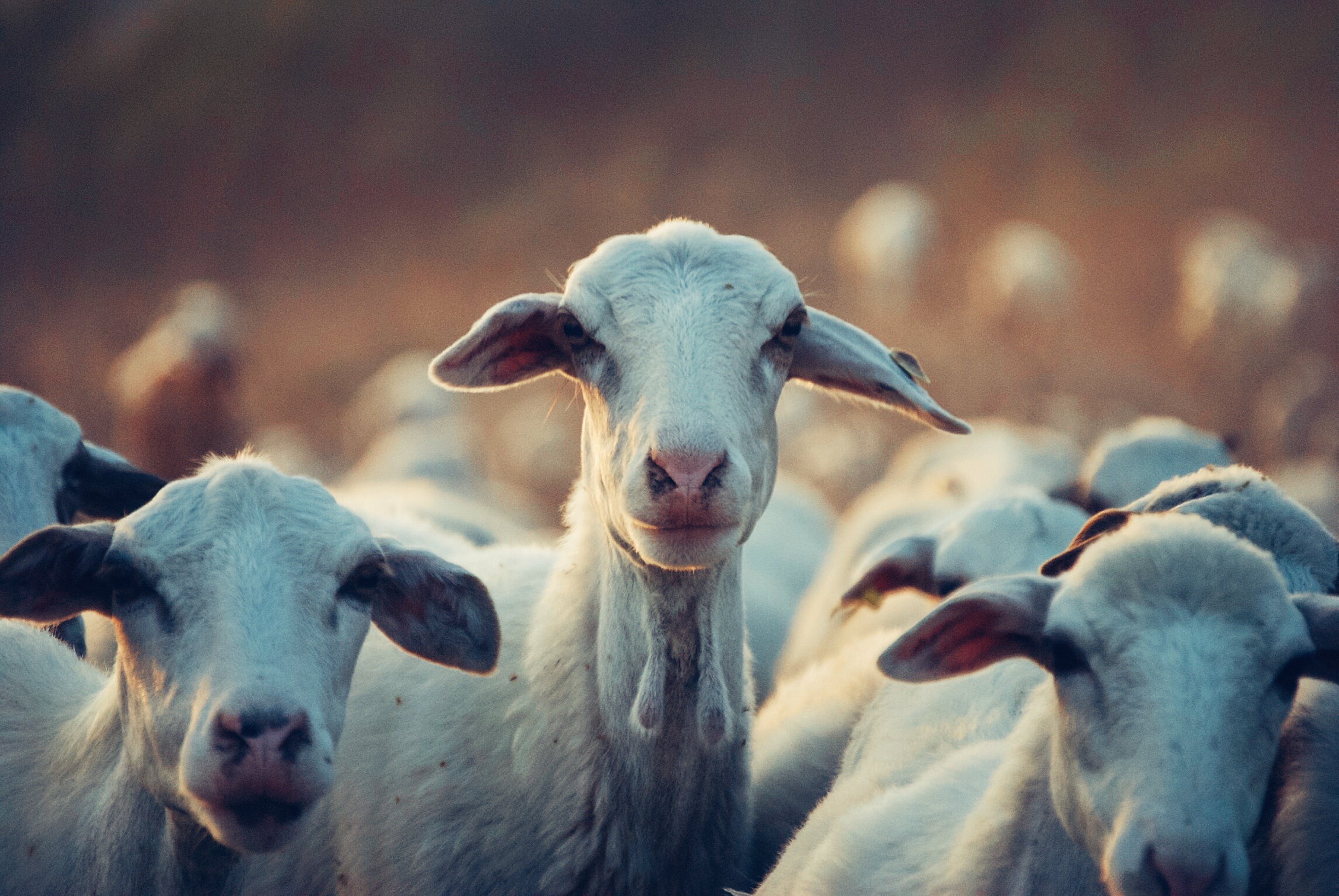 Group of Goat