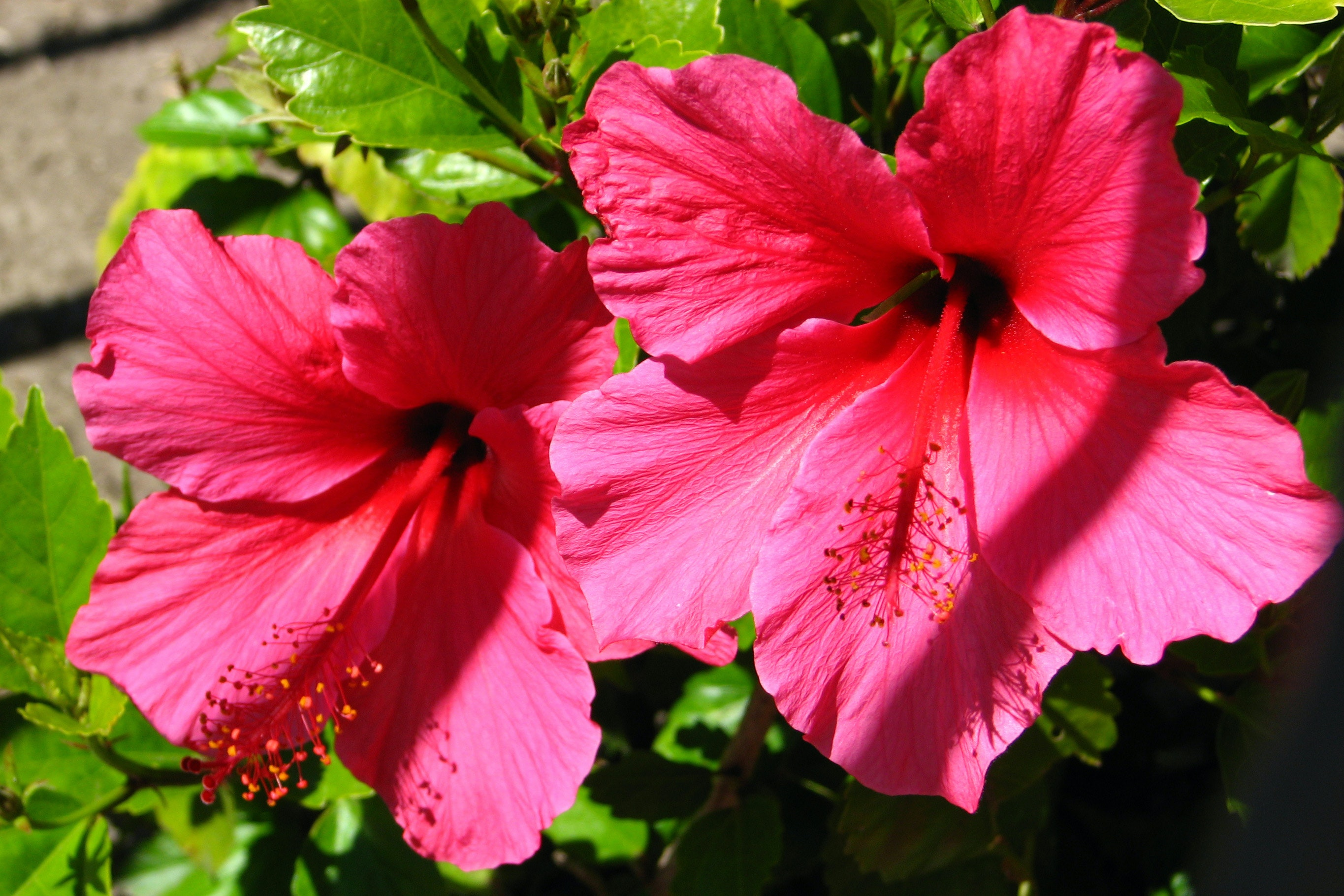 Free stock photo of flower hibiscus nature free download izmirmasajfo Gallery