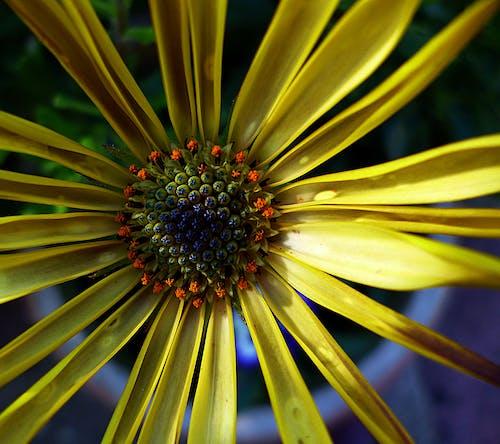 Immagine gratuita di bocciolo, fiore, flora, giallo