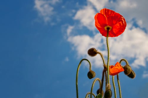 Fiore Rosso Durante Il Giorno