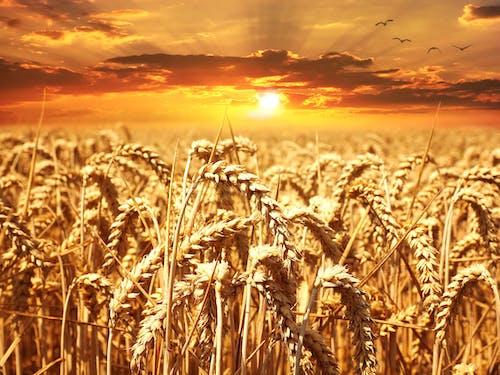 Безкоштовне стокове фото на тему «Захід сонця, зерно, зернові, нива»