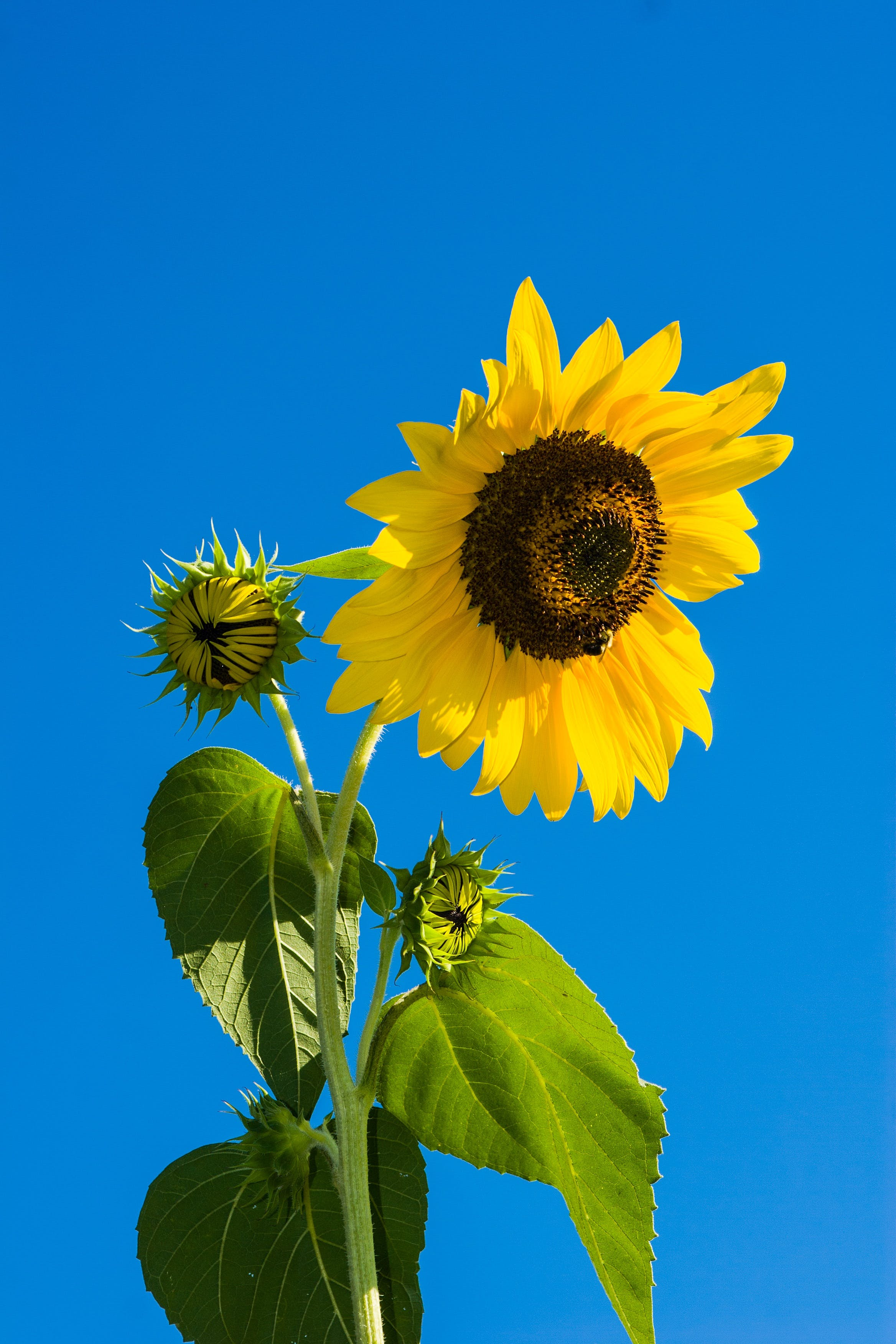 Sunflower Under Blue Sky during Daytime