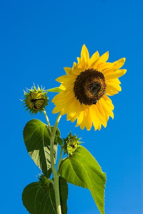 向日葵, 天性, 天空, 工厂 的 免费素材照片