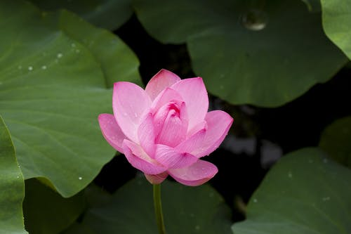 Pink Lotus Flower in Bloom Close-up Photography