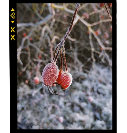 Kostenloses Stock Foto zu frost, hagebutte, kalt