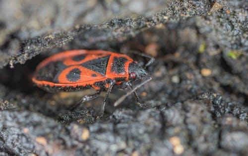 Gratis stockfoto met beest, insect, jong, kever