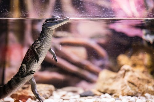 Alligator In A Tank