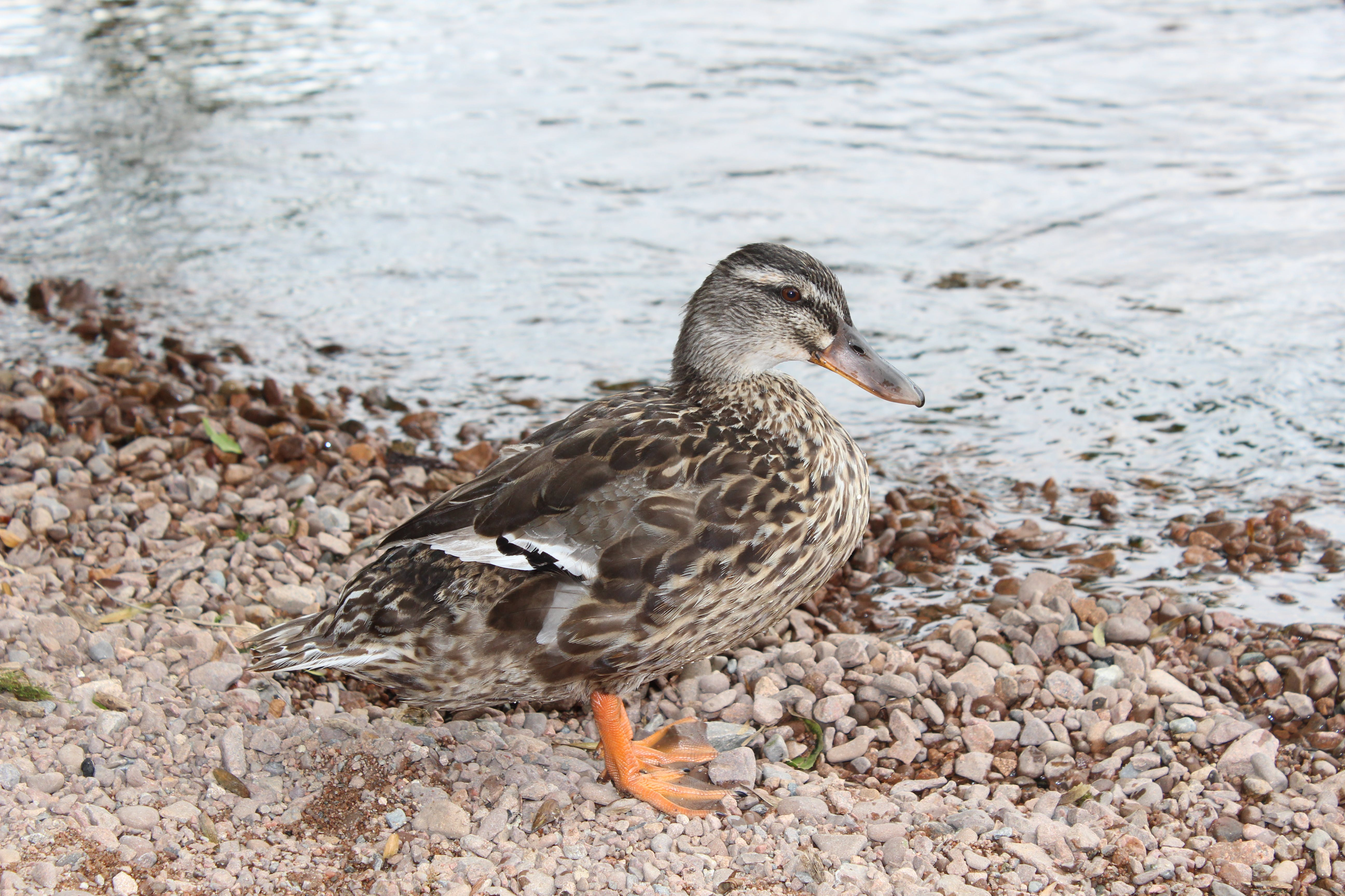 Free stock photo of by water, close up, duck, side view