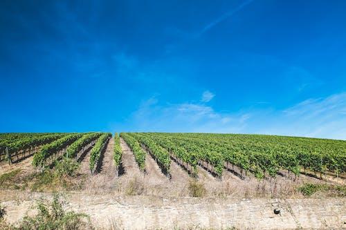 Free stock photo of grapes, grapeyard, vine