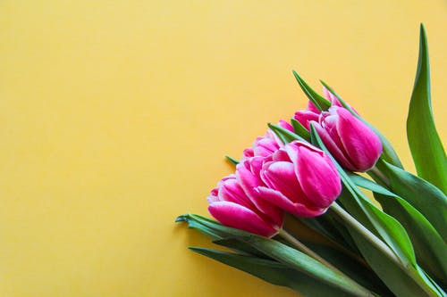 Pink Tulips On Yellow Surface