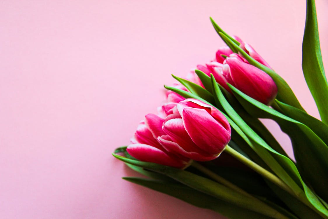 Pink Tulips On Pink Surface