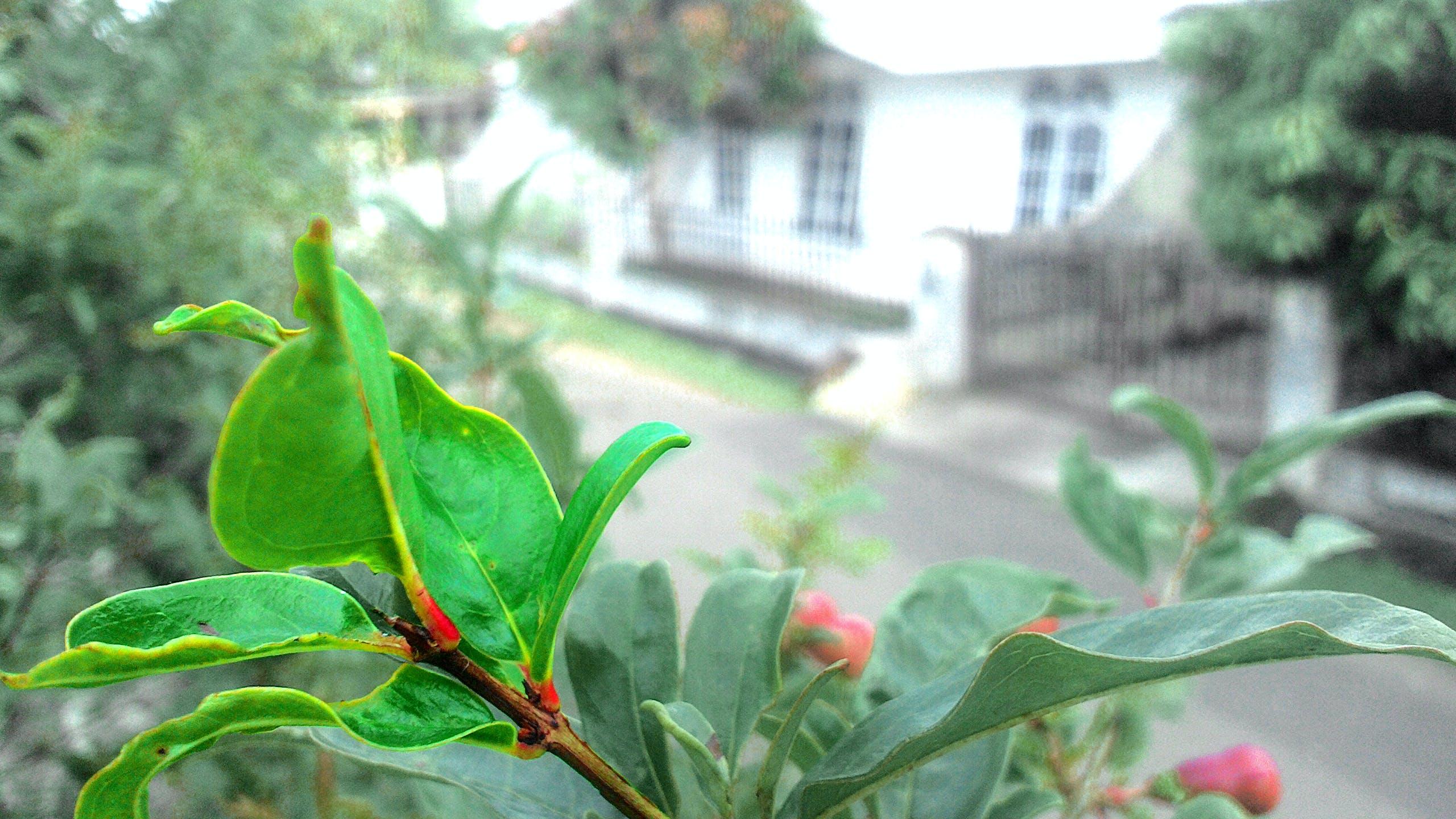 Free stock photo of daun, delima, Edy Kurnia, leaf