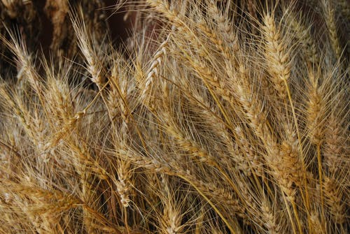 Foto d'estoc gratuïta de agricultura, blat, camp, camp de blat