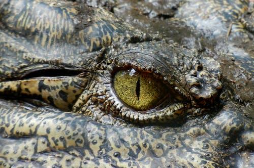 Fotos de stock gratuitas de animal, caimán, Cocodrilo, ojo