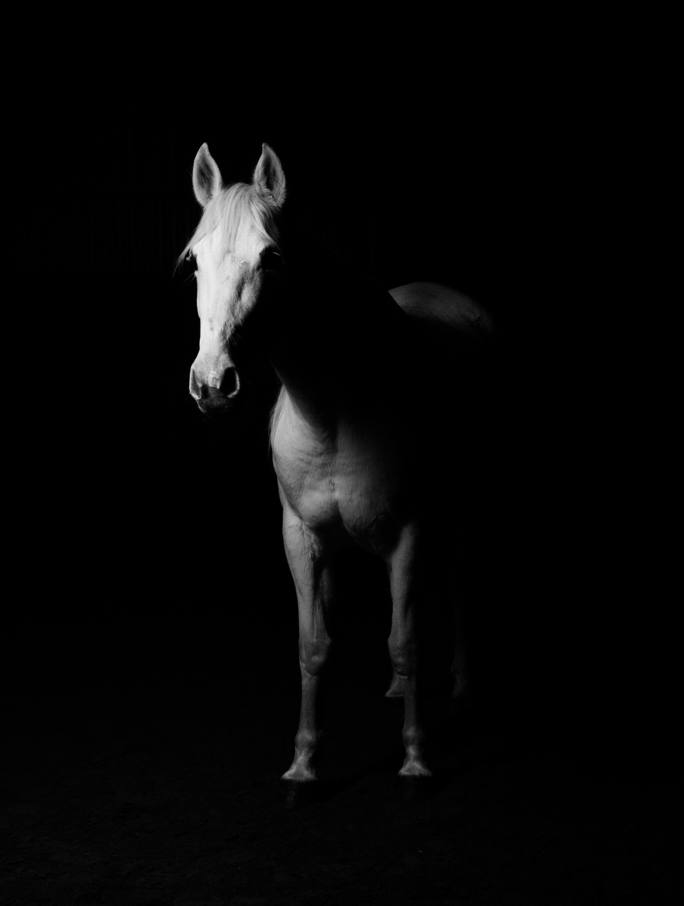 White Horse Black And White Photo Free Stock Photo