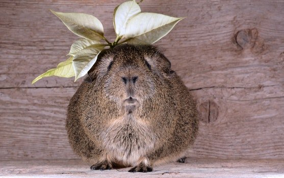 Brown Guinea Pig With Yellow Leaves on Top