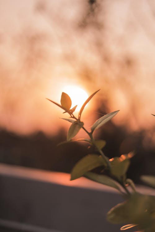 Free stock photo of golden hour, plant, sun, sunset