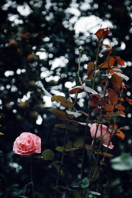 Ảnh lưu trữ miễn phí về hệ thực vật, hoa, hoa hồng, thực vật