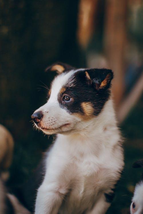 Cachorrinho Border Collie Preto E Branco