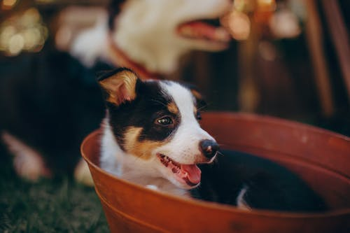 Black And White Border Collie Puppy In A Bucket