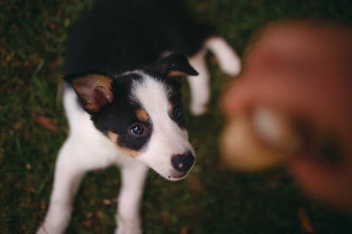 White and Black Short Coated Puppy on Green Grass