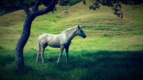 グレー, 白, 白馬, 緑の無料の写真素材