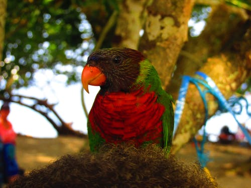 Free stock photo of brown, green, parrot, red