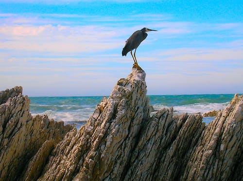 Foto profissional grátis de ave pernalta, azul, castanho, costa rochosa