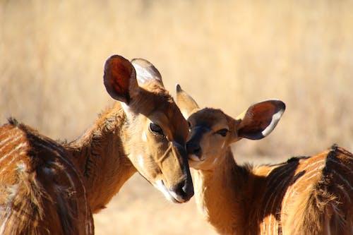 Two Brown Deer