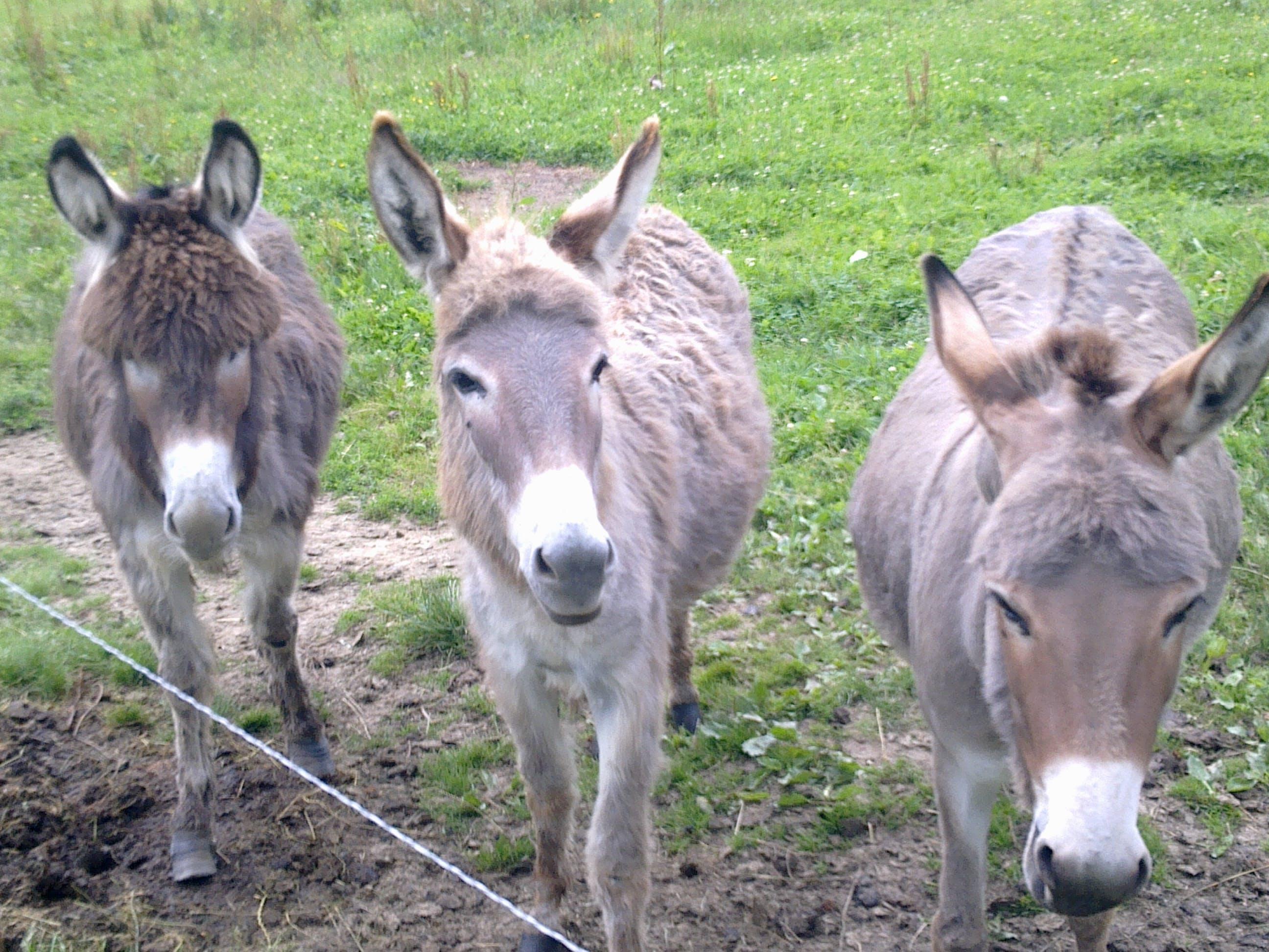 Free stock photo of #donkeys #animals