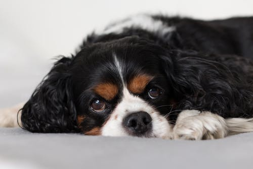 Cute fluffy Cavalier King Charles Spaniel puppy on bed