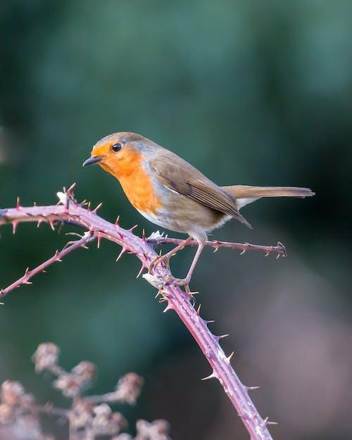 Ảnh lưu trữ miễn phí về cận cảnh, chim, chim sẻ, chim sơn ca