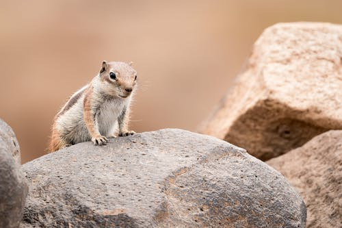 Brown Squirrel On A Rock