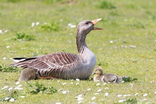 Ảnh lưu trữ miễn phí về chim nước, gia cầm, goslings, xem chim