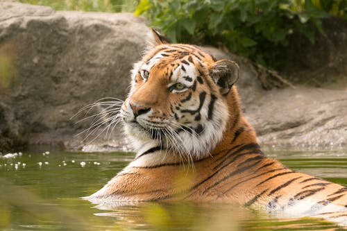 Tiger On Water