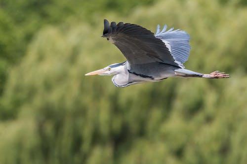 Ảnh lưu trữ miễn phí về chim, con vật, diệc, diệc xanh lá