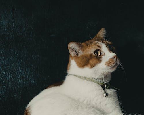 Kostnadsfri bild av djur, husdjur, katter, porträtt