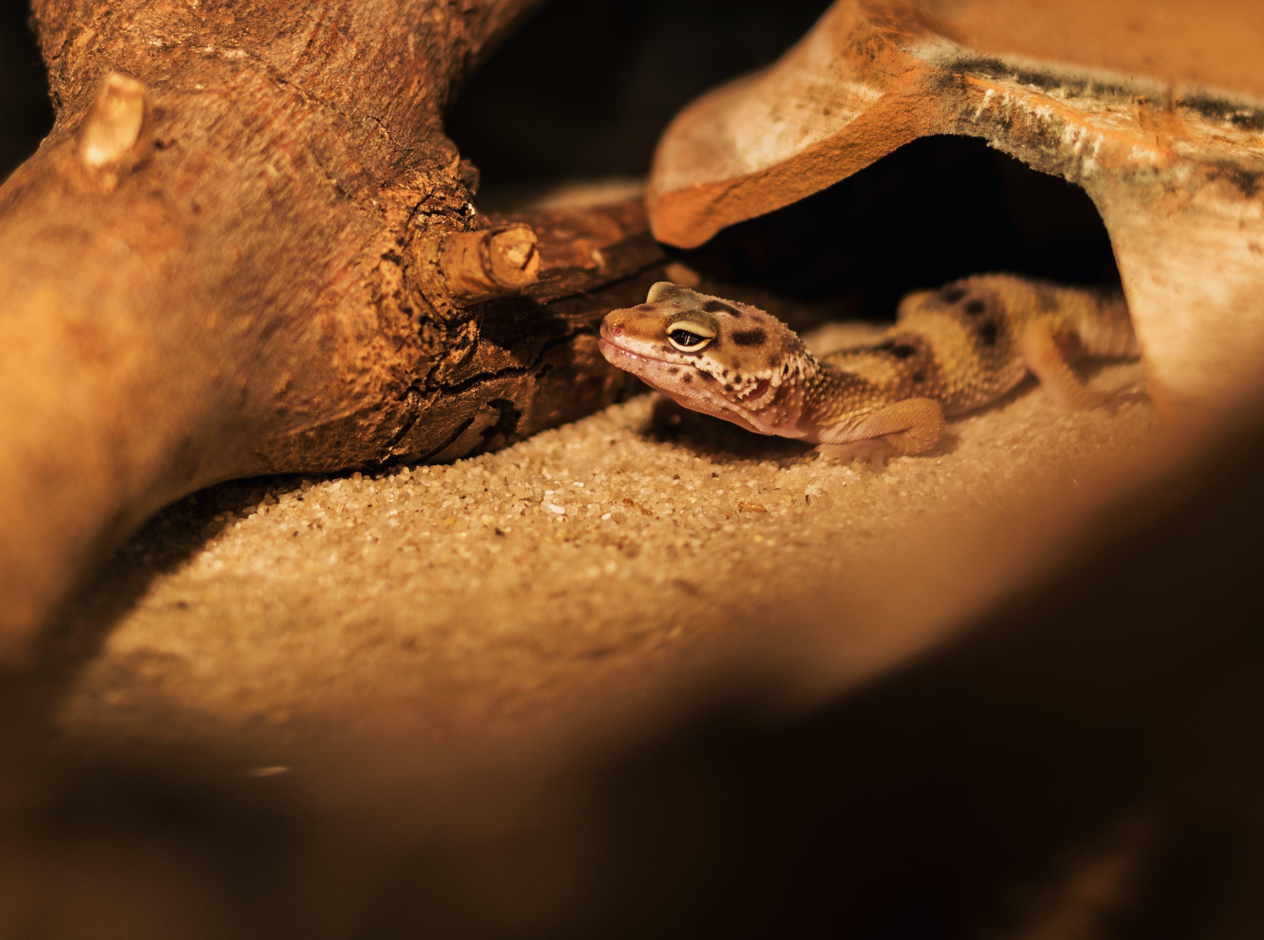 Pet Gecko Near Tree Log