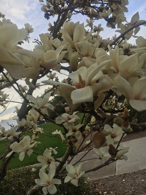 Foto profissional grátis de branco, flores, flores brancas, natureza
