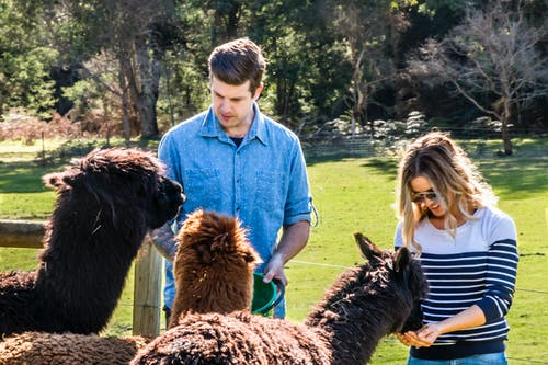 Free stock photo of alpaca, australia, farm animals