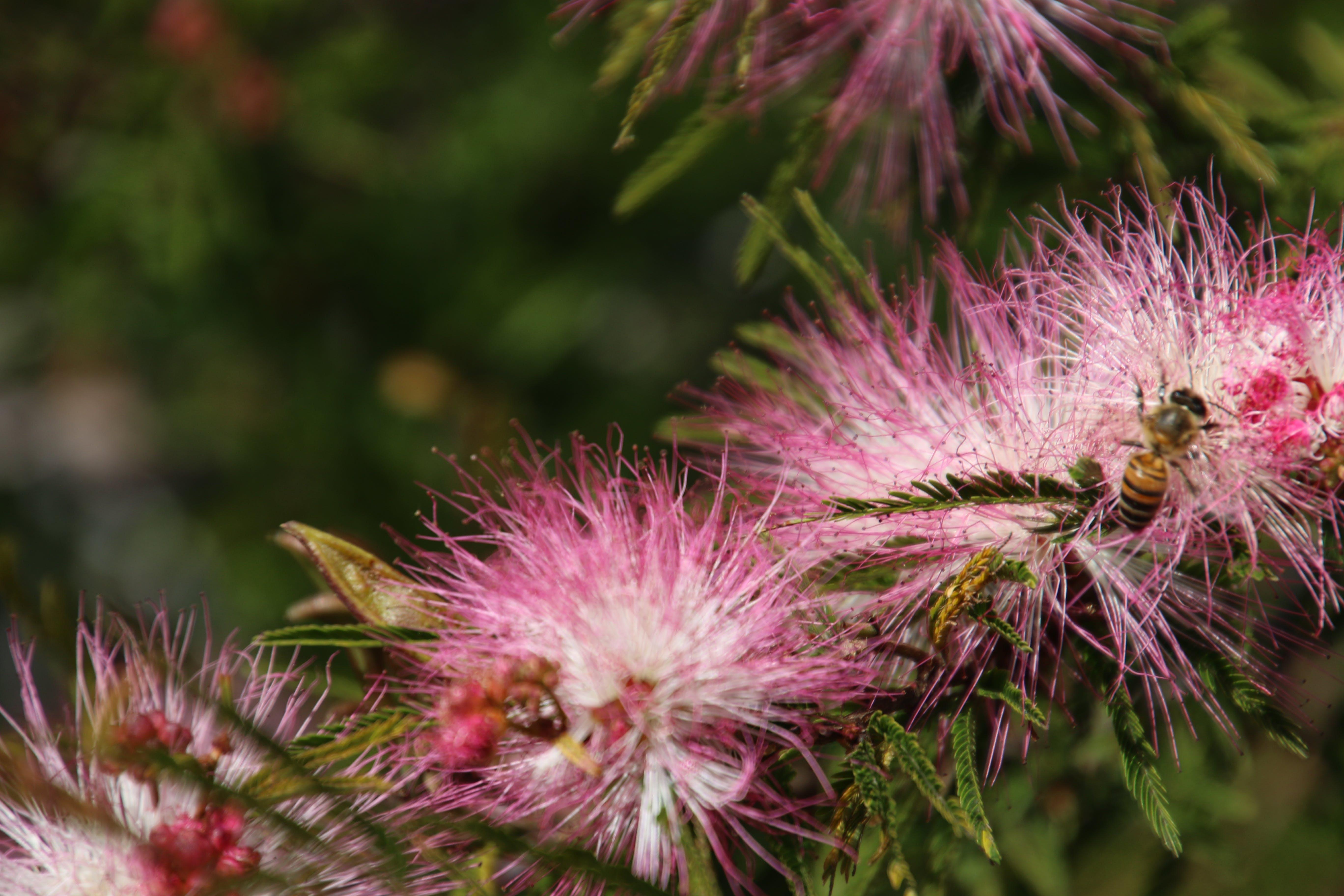 Free stock photo of bee, bottle brush, bush, garden