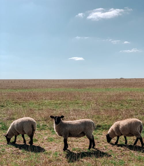 Free stock photo of salisbury, sheep